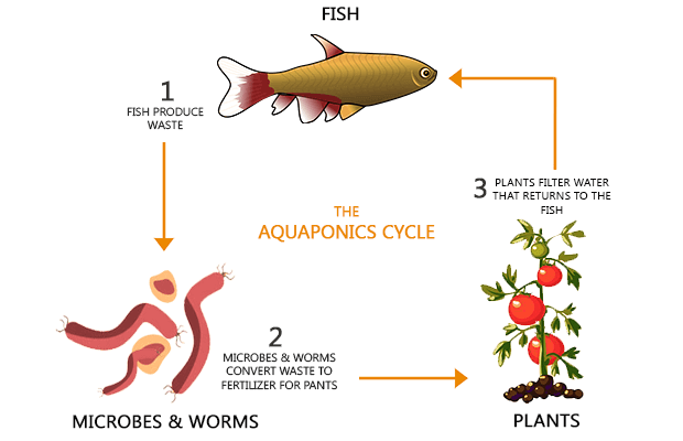 Aquaponics Cycle3
